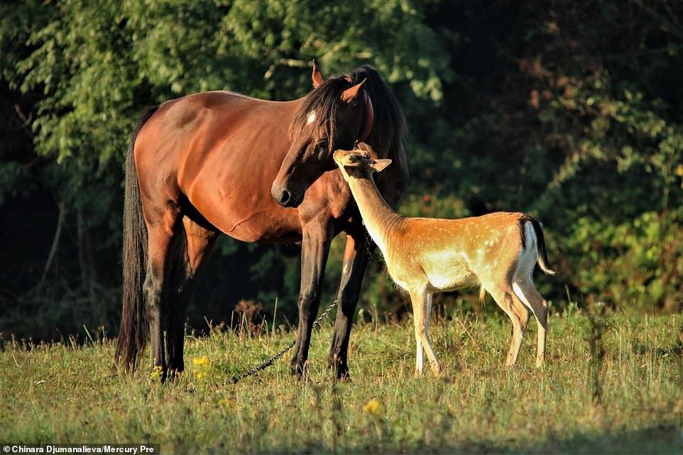 Трогательная дружба осиротевшего олененка и семьи лошадей
