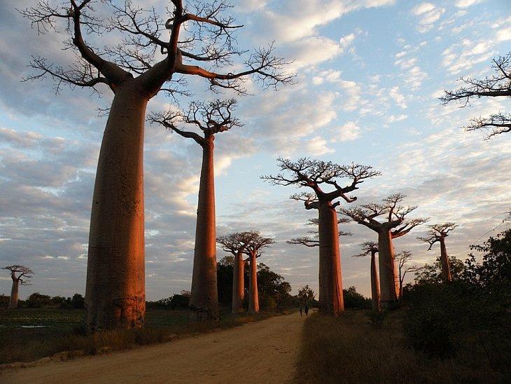 Баобаб — самое необычное дерево в мире