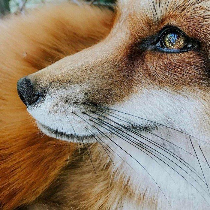 Самая популярная лиса в Instagram по кличке Джунипер
