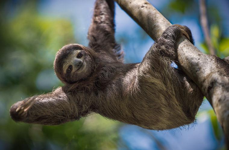 Любопытные факты о жизни ленивцев