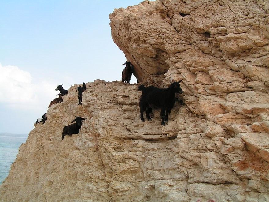 Горные козлы: животные-скалолазы