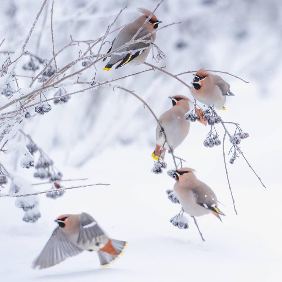 Птицы Финляндии на фотографиях Юкки Рисикко