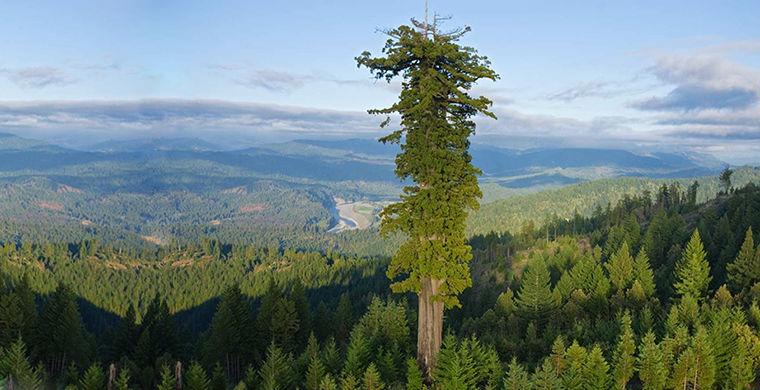 Секвойя — самое большое, высокое и старое дерево