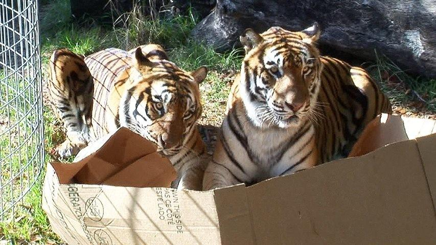Большие коты тоже любят сидеть в коробках