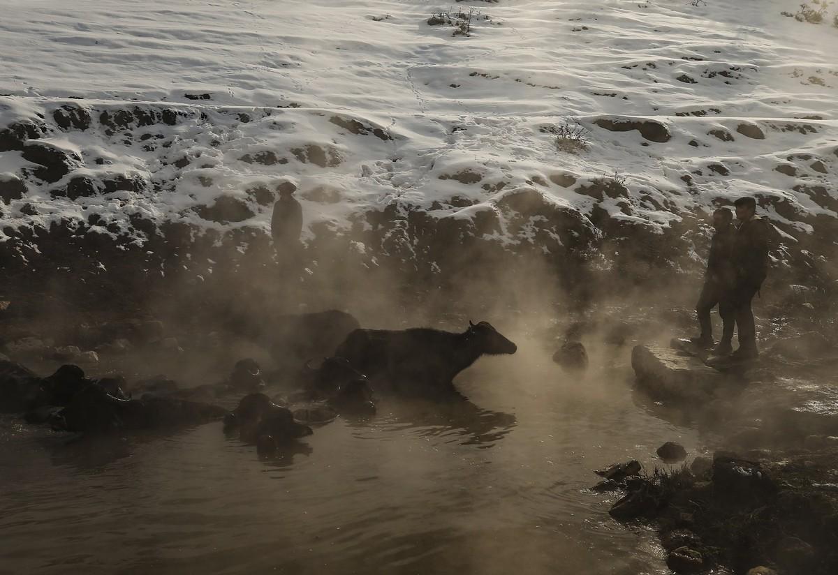 Буйволы купаются в горячих источниках в Восточной Турции