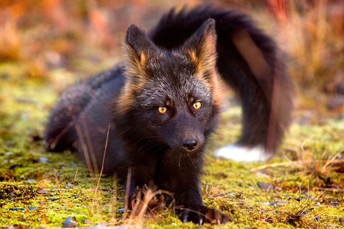 Чёрно-бурая лисица в объективе