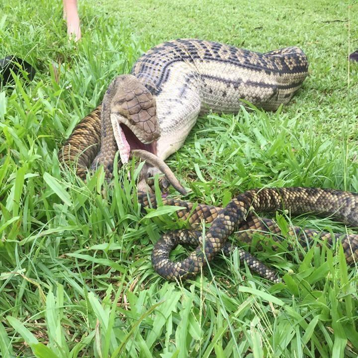 Кенгуру не повезло встретиться с крупнейшей змеей Австралии