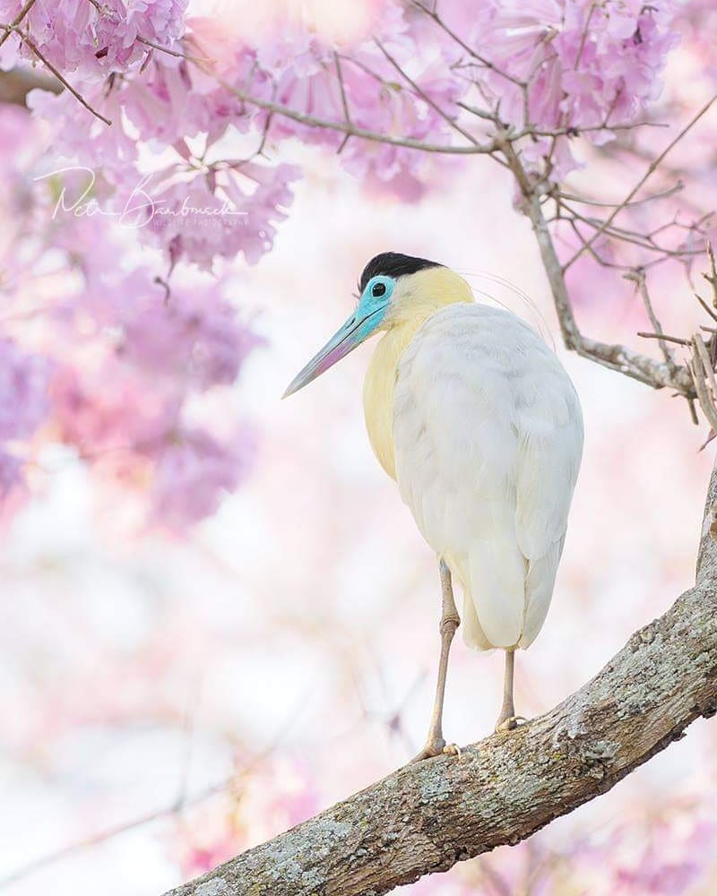Красивые птицы на снимках Петра Бамбусека