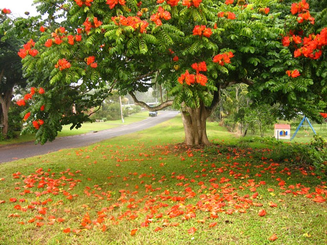 Удивительное африканское тюльпанное дерево — Спатодея