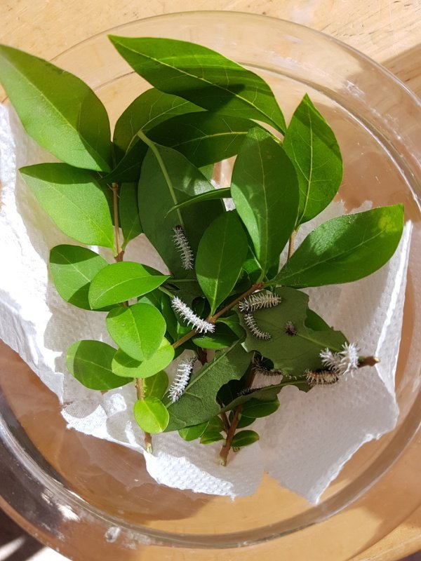 Выведение бабочек «Павлиноглазка атлас» в домашних условиях