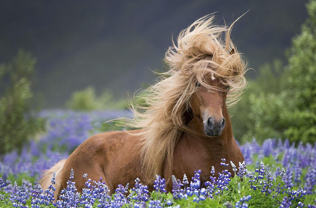 Дикие лошади Исландии на снимках