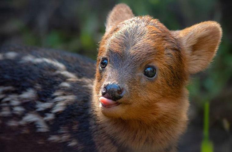 Пуду — самый маленький в мире олень