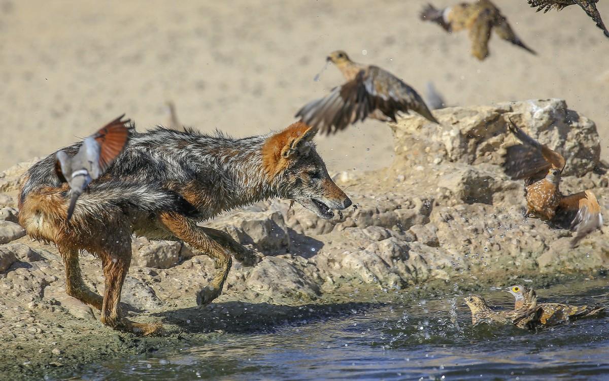 Снимки неудачной охоты шакала на птиц
