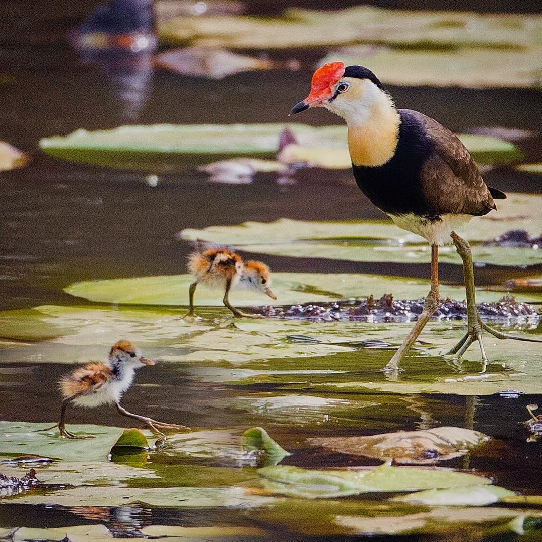 Красивые птицы Австралии на снимках Барри Бейкера