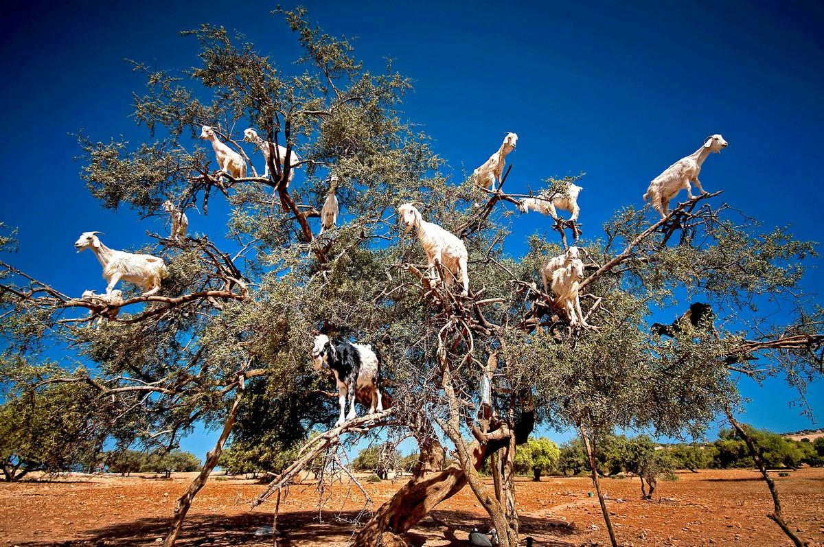 Марокканские козы на деревьях оказались аттракционом для туристов