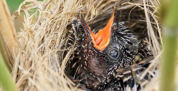 Почему кукушки подкладывают свои яйца в чужие гнезда