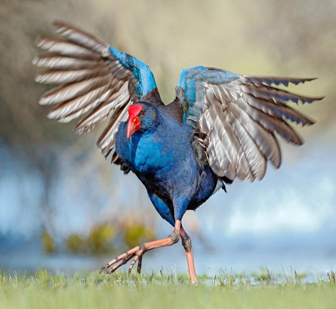 Птицы Австралии на снимках Хизер Торнинг