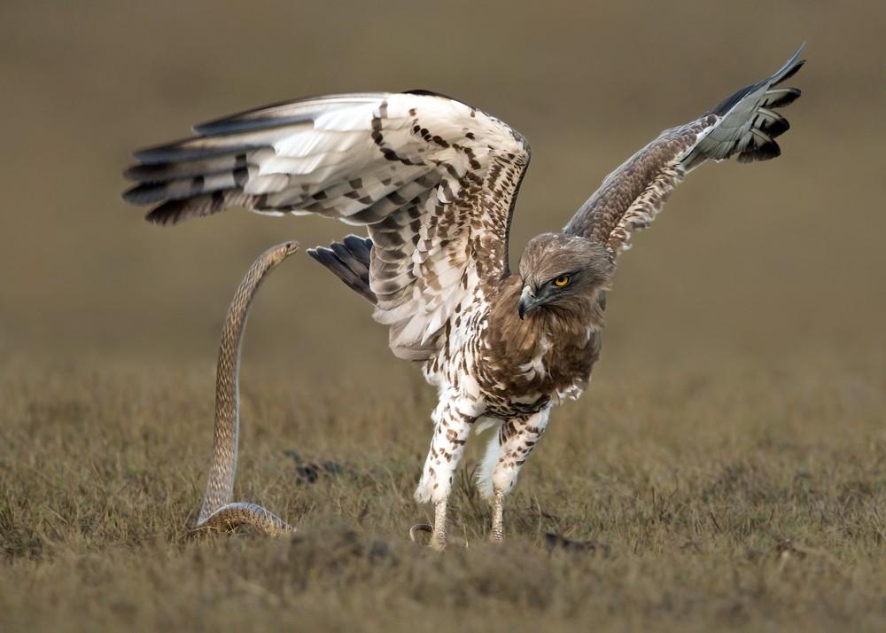 Смертельная схватка орла и змеи