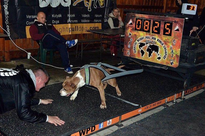 Перетягивание грузов собаками — жестокость или полезная практика?