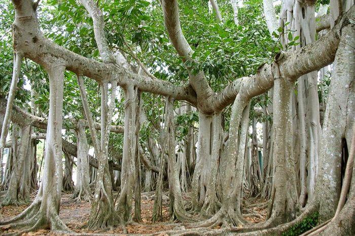Великий баньян — дерево со множеством стволов