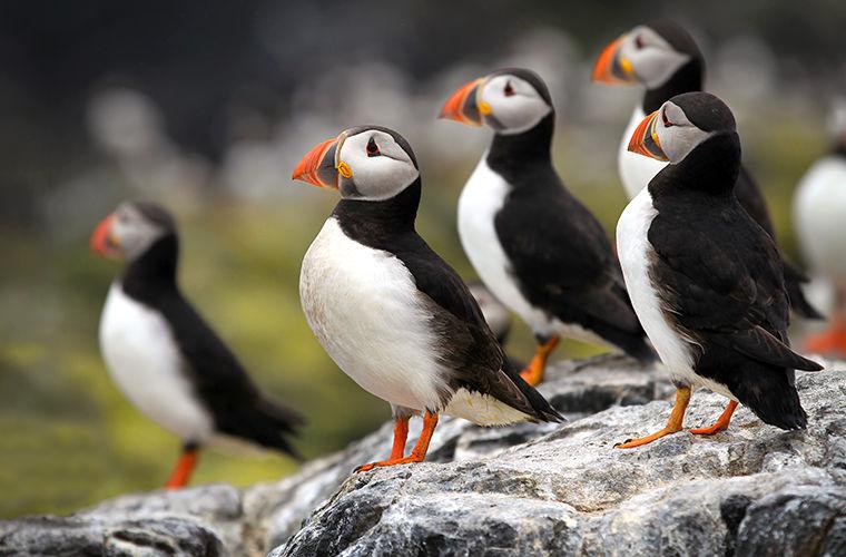 Забавные и редкие птицы паффины или просто тупики