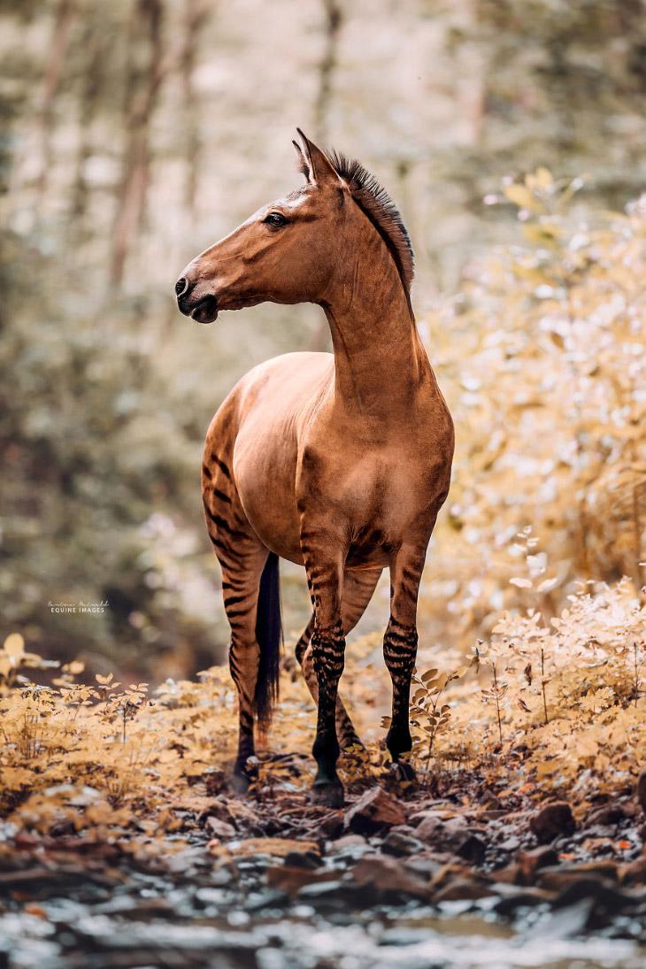 Зеброид — необычная и редкая лошадь