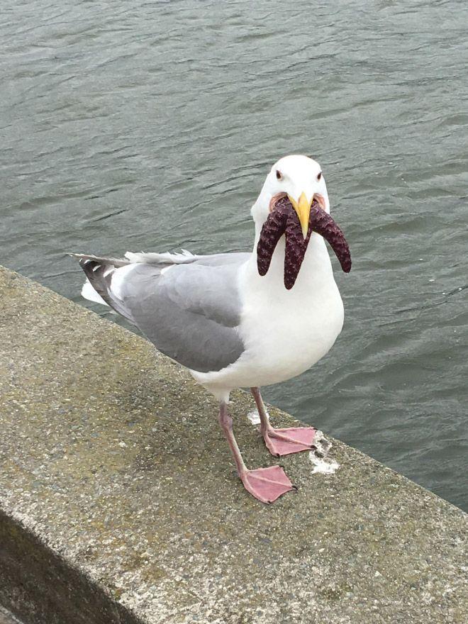 Чайки, пожирающие морских звезд