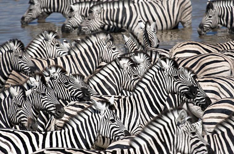 Какого цвета зебры и зачем нужны полоски
