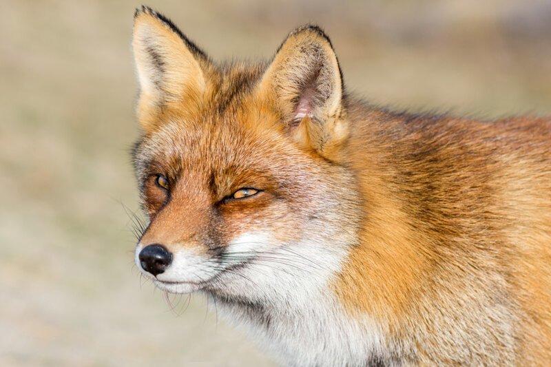 Почему у лисы из сказок отчество Патрикеевна