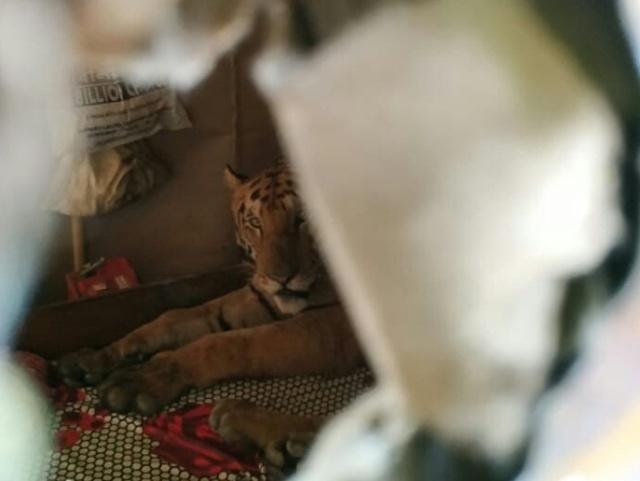 В Индии тигрица пробралась в дом и расположилась на кровати