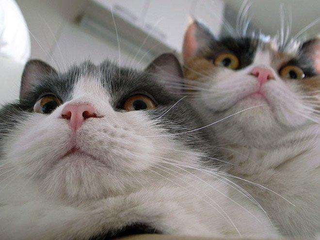 Котики и их пушистые двойные подбородки