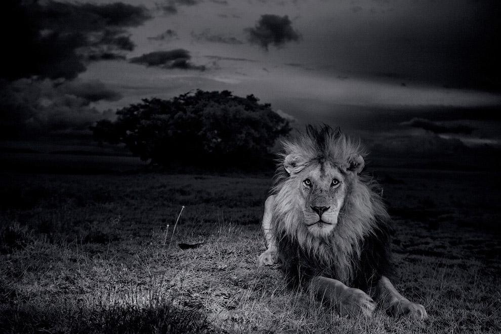 О жизни львов в Национальном парке Серенгети