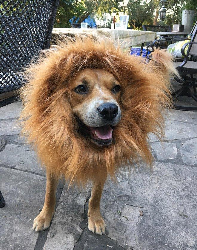 Пёсикам тоже хочется побыть львами