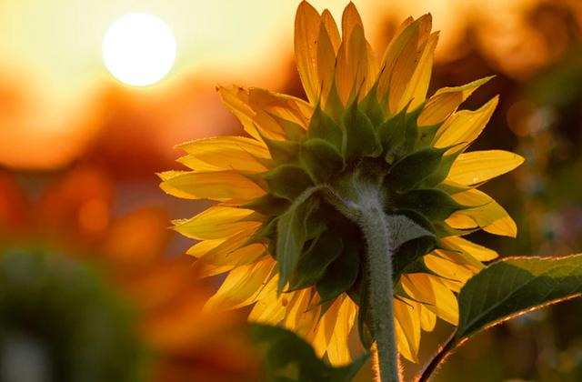Как подсолнухи поворачиваются к солнцу