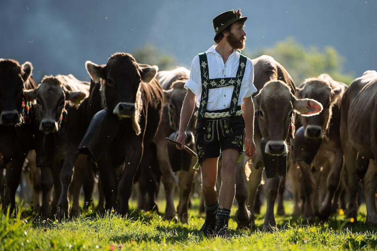 Коровы спускаются с горных пастбищ в Германии