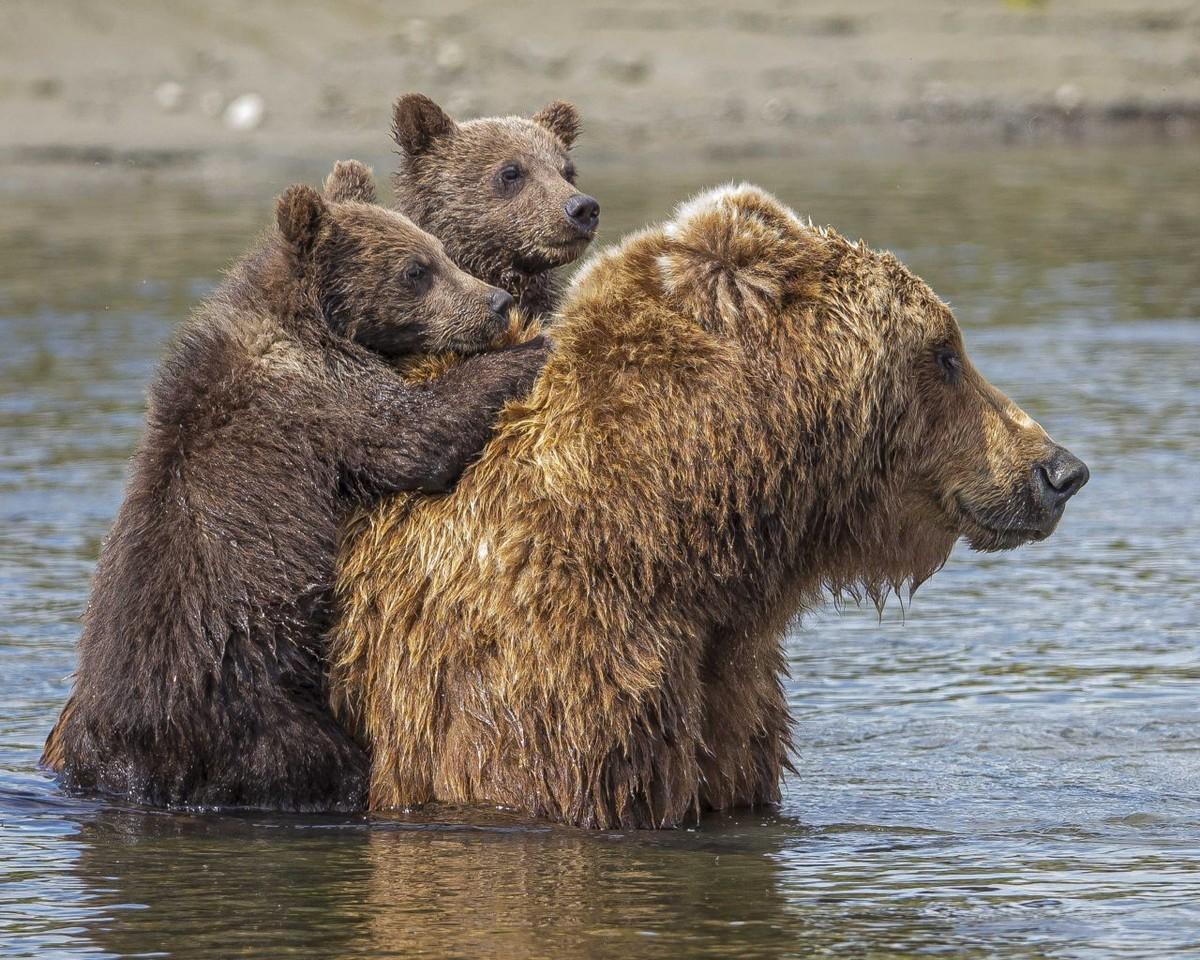 Медведица перевезла медвежат через реку на спине