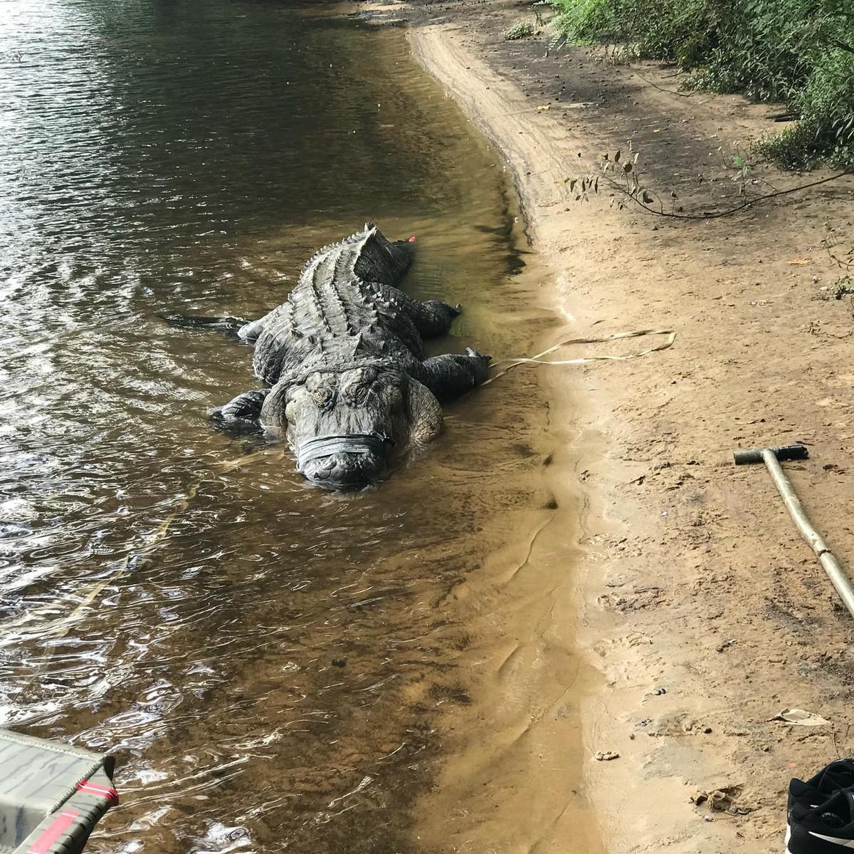 Охотники убили огромного аллигатора в штате Джорджия
