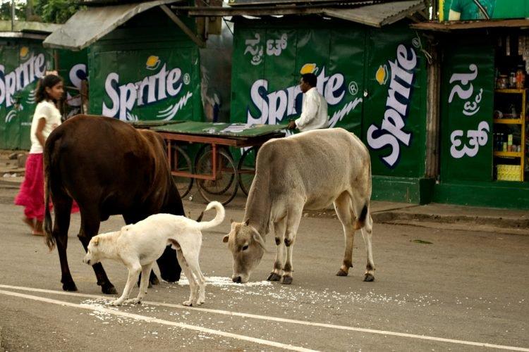 Почему бездомные коровы стали проблемой в Индии