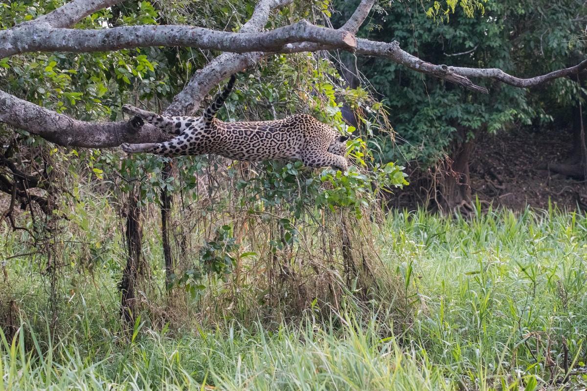 Прыжок ягуара в реку во время охоты на крокодила