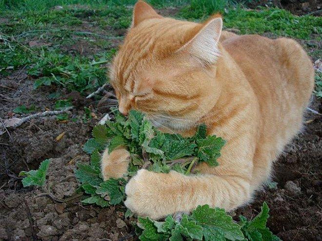 Коты — любители кошачьей мяты
