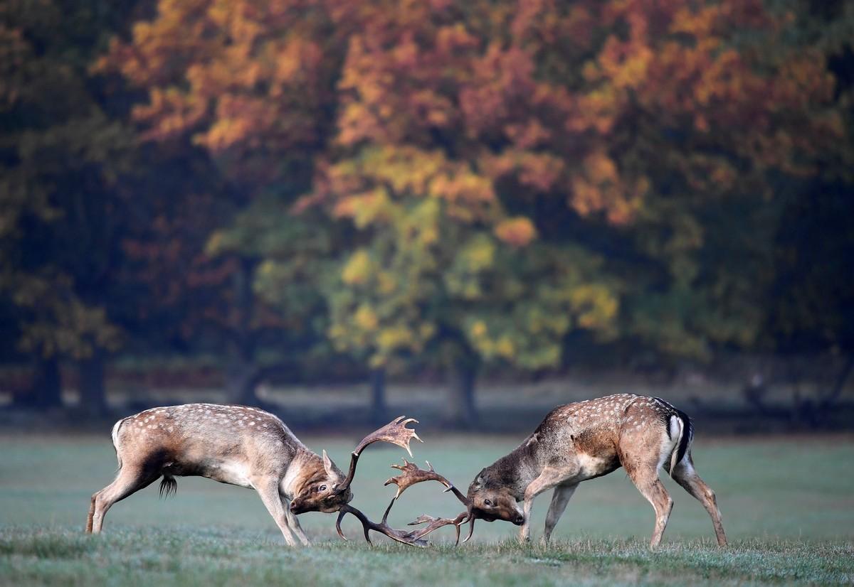 Олени сражаются для самок в осеннем Ричмонд-парке Лондона