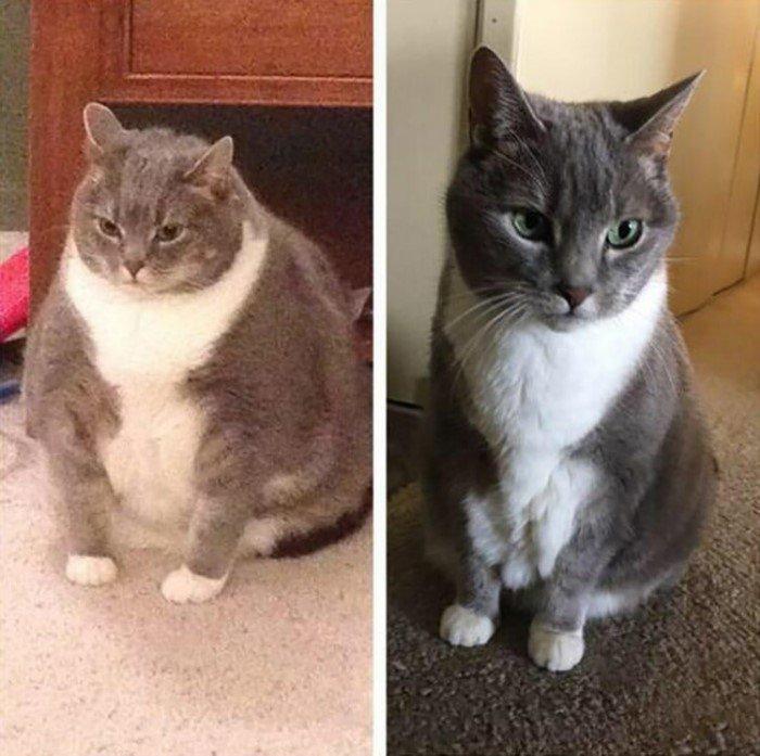 Как Похудеть Британской Кошке.