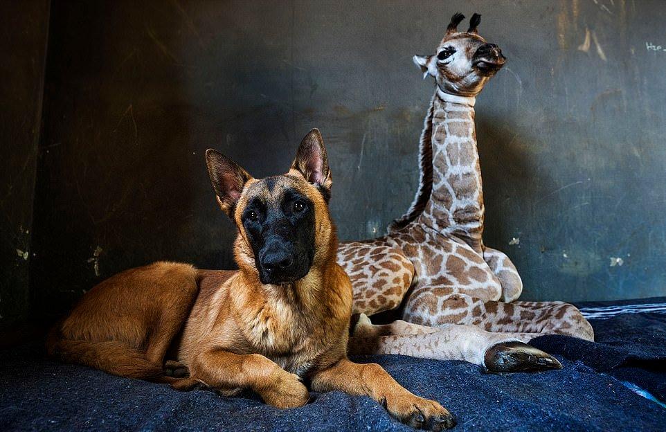 Дружба жирафенка и сторожевого пса в приюте для животных