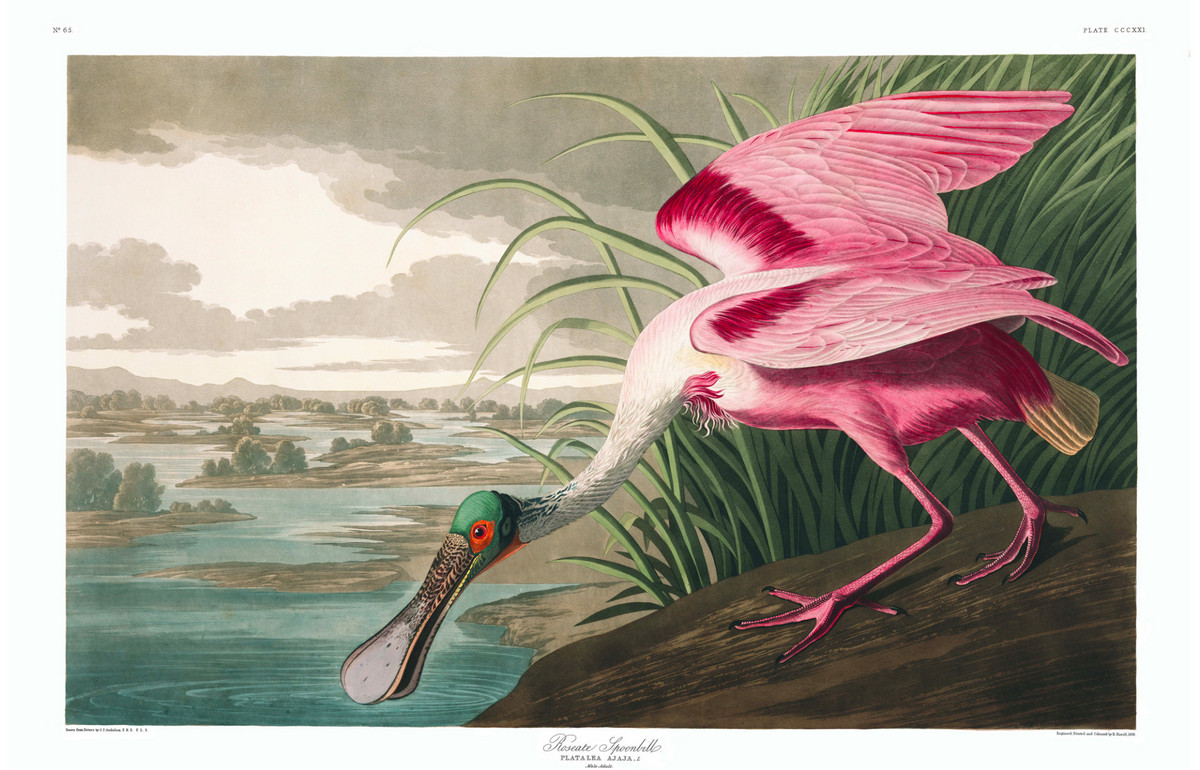 Иллюстрации из книги «Птицы Америки»