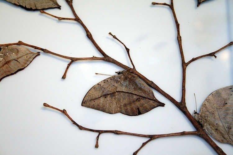 Мастер маскировки под сухие листья среди насекомых