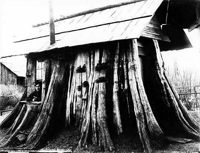Дома из гигантских пней старых деревьев в Америке XIX века