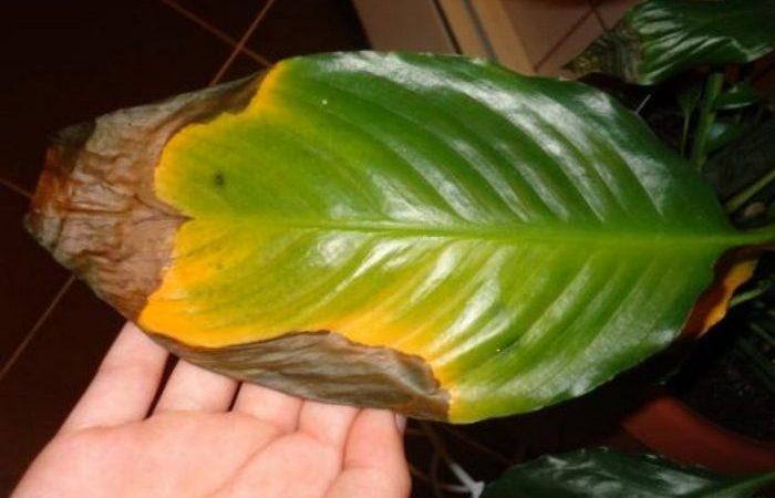 Почему чернеют края листьев у комнатных растений