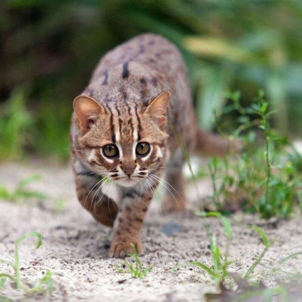 Ржавый кот — самый маленький дикий хищник в мире