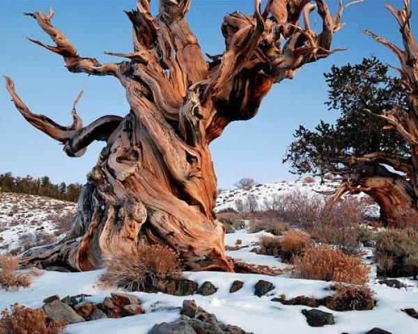 Сосна Мафусаил — старейшее живое существо на планете