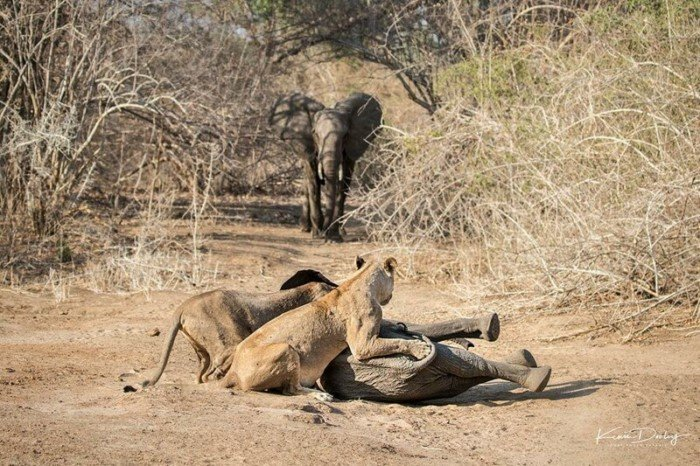 Храбрая слониха защитила своего детеныша от голодных львиц